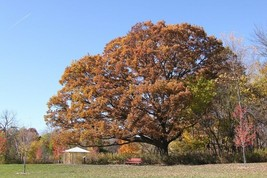 Swamp White Oak Tree, Quercus bicolor - Live Bare Root Plant - $45.00