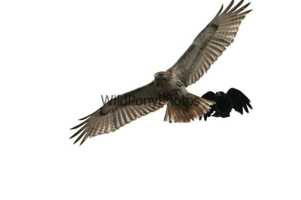 Primary image for Red Tail Hawk being Mobbed by a Crow Photo - Various Sizes