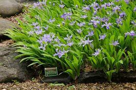 5 Crested Iris,wild iris roots,Iris cristata  image 4