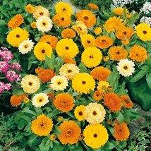 Non GMO Bulk Calendula Seeds (Dwarf) - Fiesta Gitana Calendula officinal... - $136.62