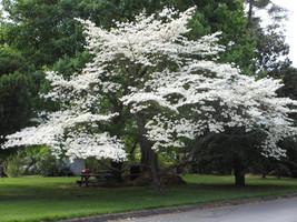 15 Seeds Cornus florida Seeds, Flowering dogwood - $8.00