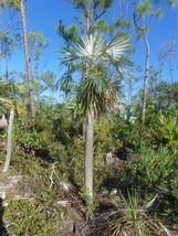 Florida Silver Palm Coccothrinax argentata 10 Seeds GTL09 - $24.17