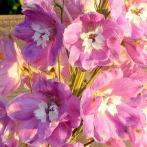 100 seeds - Pink Perfection Larkspur Delphinium Consolida Ambigua #SFB15 - $17.99