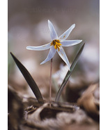 """Dogtooth Violet,"" an A. Rose Designs (tm) note card - $5.95+"