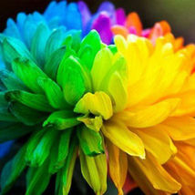 20pcs Rare Rainbow Chrysanthemum Flower Plant Seeds Home Garden Bonsai D... - $2.99