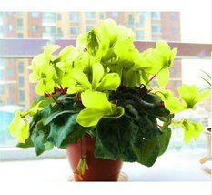 100Pcs/bag Phalaenopsis Light Green Orchid Plant Flower Seeds - $8.82