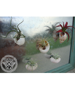 Air Plant in Sea Shell & Urchin Magnet - Variety Mix - Wedding, Favors, ... - $7.00
