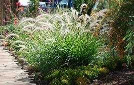 White Fountain Grass - Live Plant in a 6 Inch Pot - Pennisetum Setaceum - Easy C - $31.65