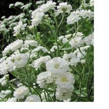 SHIP FROM US Baby's Breath Fresh Hand Packaged Flower Seeds SPT5 - $12.00