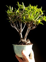 Ficus Nerifolia Bonsai - Natural bonsai - 16 year old plant - $127.71