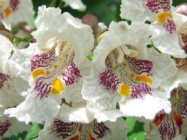 Very Cute 5 Variety Catalpa speciosa Northern Tree Seeds #SMA53 - $16.99+