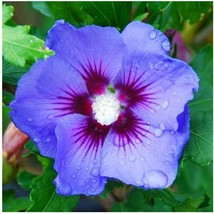"3.5"" Pot Bluebird Rose of Sharon Hibiscus syriacus Established 3 Plants  - $54.99"