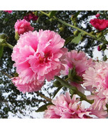 Best Promotion HOLLYHOCK - SUMMER CARNIVAL MIXED - 100 FLOWER SEEDS Home... - $2.65