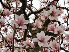"Saucer Magnolia Soulangeana 2 1/2"" pot shrub/tree image 2"
