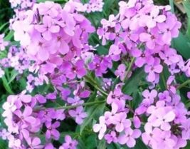 SHIPPED From US, DAME'S ROCKET SEEDS VIOLET 100 FRESH SEEDS*FREE SHIPPIN... - $16.99