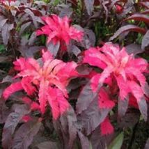 Amaranthus Early Splendor Tricolor  Flower 100 Seeds #SFB11 - $18.17