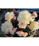 15 Seeds Begonia Appleblossom Nonstop Pelleted - $8.99