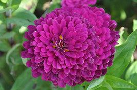 50 Seeds - Zinnia Benary Giant Purple  - $9.49