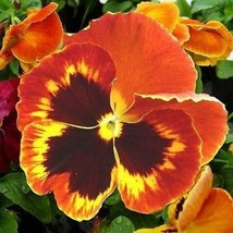 SHIP FROM USA Pansy Giant Flame Flower Seeds (Viola x Wittrockiana) 100+... - $34.93