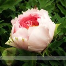 Heirloom Light Pink Rose Red Tree Peony 'Qiu Ball' Flower Seeds - 5 Seeds / Pack - $3.99