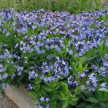 15 Pcs Seeds Blue Star - Amsonia – Perennial HH01 - $17.99