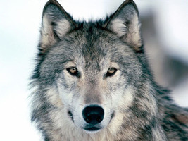Wolf Reiki Attunement/Empowerment/adaptability/... - $2.00