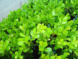 "Japanese Boxwood Buxus micropylla Hardy Healthy Evergreen 12 Plants in 2.5"" Pots - $93.99"