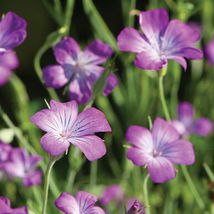 Purple Queen Agrostemma Seed / FLOWER SEEDS/ Agrostemma FLOWER SEEDS - $12.00