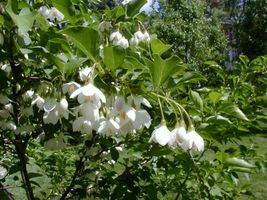 1 Rooted 18-24 Inch Japanese Snowbell Styrax Japonicus Tree Plant Gardening D01 - $65.99