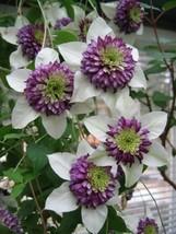 50 White Purple Clematis Seeds Large Bloom Climbing Perennial Garden - TTS - $29.95