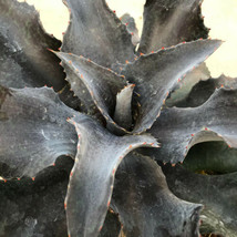 """Night Owl"" NEARLY BLACK Mangave STARTER Plant Agave & Manfreda Hybrid 3... - $29.16"