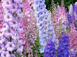 600+LARKSPUR (Rocket) IMPERIAL MIX Seeds Blue Purple Pink White Flowers ... - $2.75