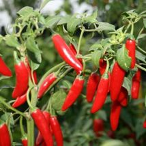 150 Organic Hot Serrano Tampiqueno Pepper Seeds - $1.79