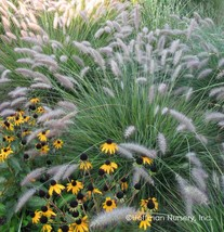 """18 Pennisetum alopecuroides """" Cassian """"  - Live Plant  Free Shipping- - $119.70"""