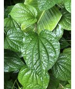 "ROOTED BETEL 6"" TO 10"" TALL PLANT (PIPER BETEL) EDIBLE HERB LIVE PLANTS!!!! - $27.51"