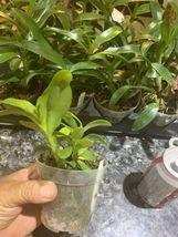 ~SALE~ Dendrobium Parishii Var Dark Pink Species Orchid Plant :: :: :: image 4