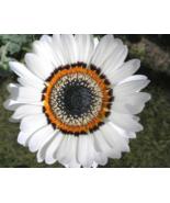 50 Pcs Seeds Prince Cape Daisy Venidium White Zulu Flower - DL - $16.00