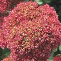 18 Sedum spectabile Autumn Joy Ground Cover -Live Plant Free Shipping- Stonecrop - $119.70