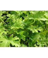 Live Plant Citronella Mosquito Plant Scented Geranium Outdoor Indoor Gar... - $62.00