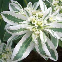 50pcs Exotic Euphorbia Marginata Pursh Heat Resistant EverGreen in mountain IMA1 - $15.99