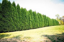 "15 Leyland Cypress trees 2 1/2"" pot (X Cupressocyparis  leylandii) image 5"