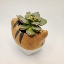 "Graptoveria Olivia Succulent in Cat Planter - 2.5"" Kitty Kitten Ceramic Pot image 6"