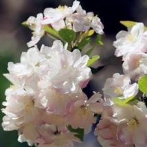 White Begonia Flower Floresling Seed 100pcs Malus Spectabilis Plants Seeds - $8.40