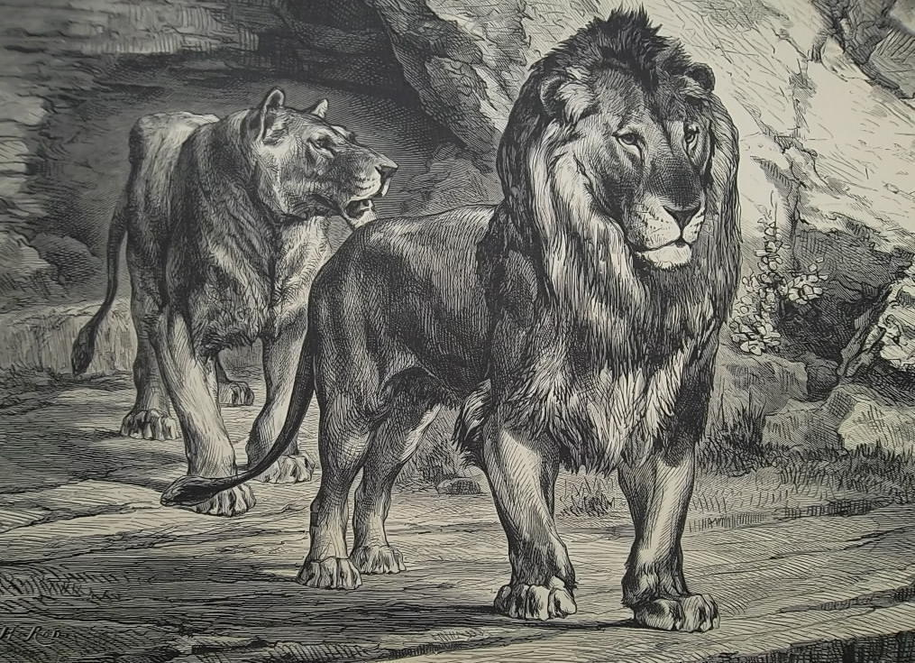 HUNTING 19th Century Tunisia Lions of Oued-Zerga - 1878 Fine Quality Print