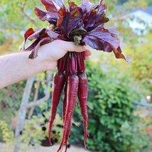 5 Grams Organic Seeds of MacGregor's Favorite Beet Organic - $24.45