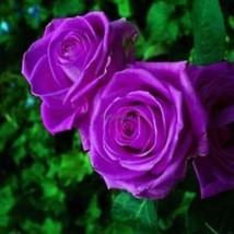 Schöne Bonsai Blume Purple Rose Seeds 35DI - $2.21
