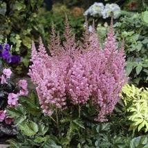 1 Packet of 100 Seeds Astilbe Chinensis Flower/Saxifragaceae / Astilbe Chinensis - $15.66