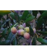 Olea europaea 'Arbequina' Olive Tree live plant #TkGrayGarden - $43.00