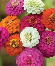 California Giant Zinnia Mix Heirloom Seeds- Approximately 300 Seeds 3.88g - $5.15