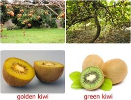 Thai Kiwi Fruit Vine seeds, tropical, Golden/ Green , ACTINIDIA CHINENSI... - $2.95+